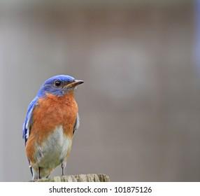 Pretty little Bluebird sitting in the yard