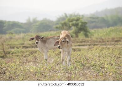 pretty little calf standing  in green pasture.