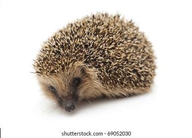 Pretty little hedgehog sitting on a white background