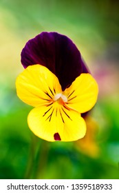 A pretty little pansy in the summer garden.