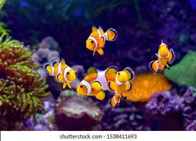 a pretty little yellow clown fish mingling