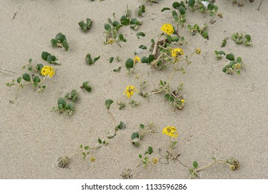 Pretty Little Yellow Flowers Growing in the Sand at the Beach