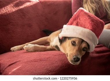 Pretty mixed breed dog with Santa hat. Mixed breed: Greek hound and German shepherd