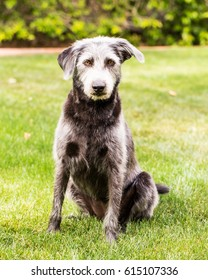 Pretty mixed terrier breed medium-sized dog sitting in green grass yard during summertime