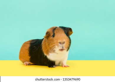 Pretty multi colored guinea pig looking at the camera on a yellow and blue background