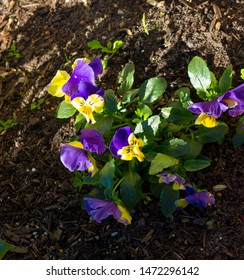 Pretty multi-colored whiskered flowers of pansy  derived by hybridization from several species in the section Melanium of the genus Viola, flowering in spring are delightfully cheerful.