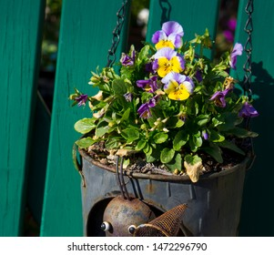 Pretty multi-colored whiskered flowers of pansy hybridized from several species in the section Melanium of the genus Viola, flowering in an antique can in spring are delightfully cheerful.