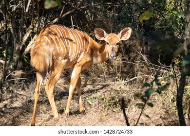 Pretty Nyala in a thicket of vegetation