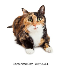 Pretty orange and black color Calico breed cat with smile on face