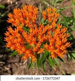 Pretty orange butterfly weed growing in a garden. Very attractive to pollinators.