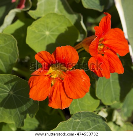 Pretty orange flowers common garden nasturtium stock photo edit now pretty orange flowers of common garden nasturtium plant tropaeolum peeping through green foliage blooming in early mightylinksfo