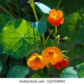 Pretty Orange Flowers Common Garden Nasturtium Stock Photo Edit Now