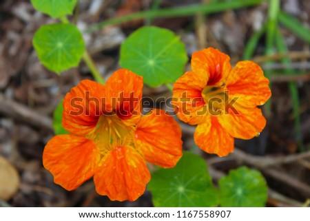 Pretty Orange Red Yellow Flowers Common Stock Photo Edit Now