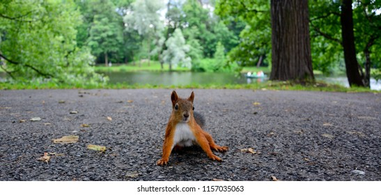 A pretty orange squirrel sitting on the summer alley of the park with the trees and pond in the background
