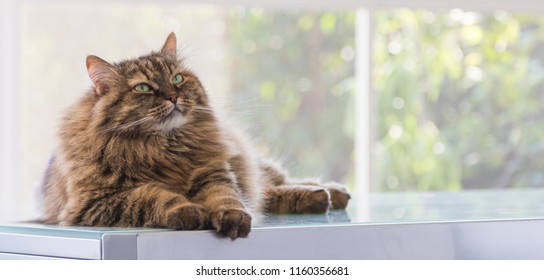 Pretty pet of livestock, siberian purebred cat. Hypoallergenic animal with long hair
