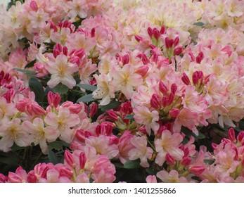 Pretty pink Azalea flowers in bloom 2019