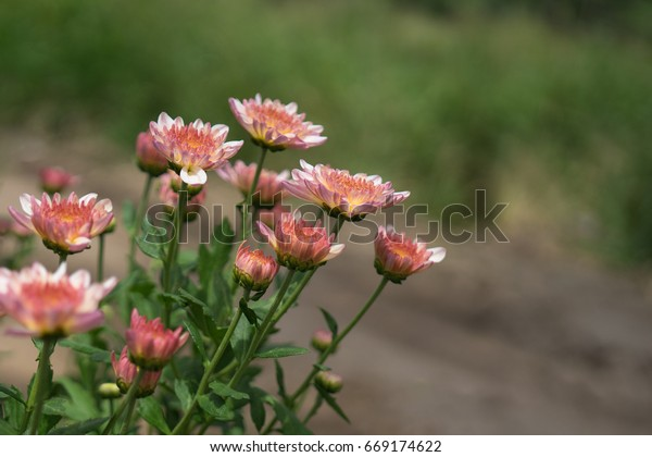 Pretty pink Chrysanthemums in the flower garden with a green blurry background. They are also called mums or chrysanths and are flowering plants of the genus Chrysanthemum in the family Asteraceae.