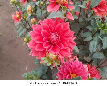 pretty pink dahlia flower petals with green leaves