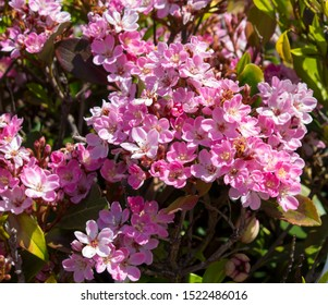 Pretty pink flowers of Rhaphiolepis indica, the Indian hawthorn, India hawthorn or Hong Kong hawthorn, an evergreen shrub in the family Rosaceae add color to the garden in winter.