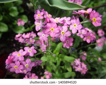 Pretty pink forget-me-not flowers in bloom 2019