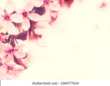 Pretty Pink Plum or Cherry Blossoms on Blank Background with room or space for text, copy or your words on the side.