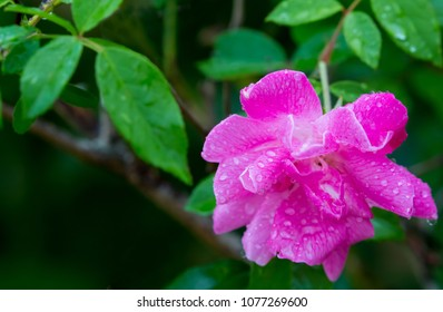 Pretty Pink Rose Flower with Rain Water Droplets and Green Leaves
