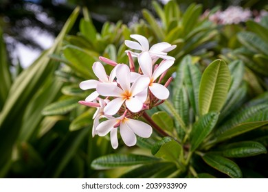 Pretty pink and white plumeria flowers bursting with color on a bush located on the island of Kauai, Hawaii.