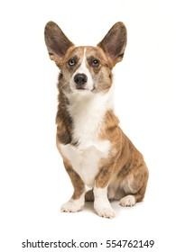 Pretty and proud adult welsh corgi adult dog sitting with ears up seen from the front isolated on a white background