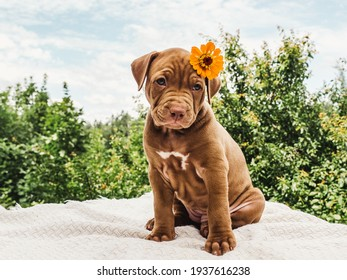 Pretty puppy of chocolate color with a bright flower on his head on a background of blue sky on a clear, sunny day. Close-up, outdoor. Concept of care, education, obedience training, raising of pets
