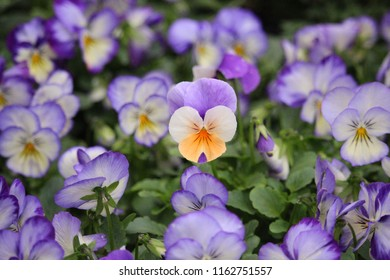 Pretty purple flowers in blossom