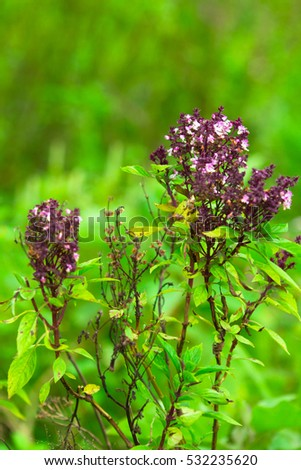 Pretty Purple Flowers On Holy Basil Stock Photo Edit Now 532235620