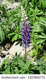 pretty purple lupine on the south island of new zealand