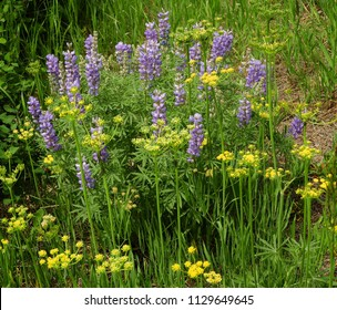 pretty purple  lupines and yellow wildflowers along lake sherburne near many glacier, in glacier national park, montana