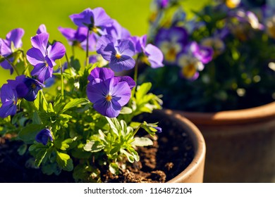 Pretty purple pansies in full bloom in evening light. They are Penny Blue Viola and grow well in part sun or full sun.
