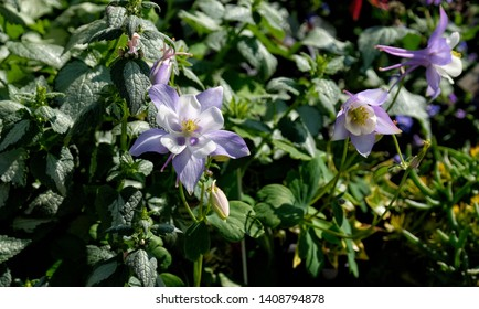 Pretty purple perennial garden flowers with green leaves in background