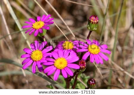 Pretty purple sand dune wild flower stock photo edit now 171132 pretty purple sand dune wild flower new zealand mightylinksfo
