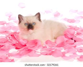 Pretty Ragdoll kitten lying in pink rose petals, on white background