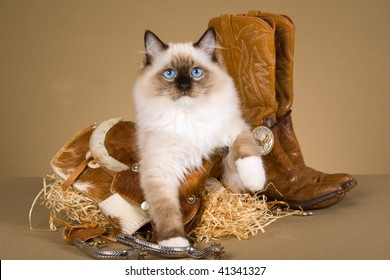 Pretty Ragdoll kitten with mini cowboy saddle, boots, spurs, straw