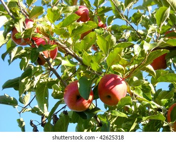 Pretty red apples on orchard trees