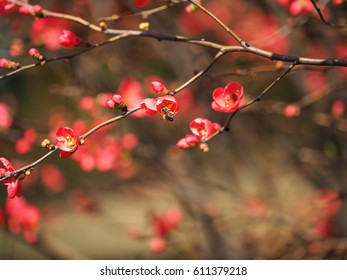 The pretty red blossoms blooming in the garden in spring