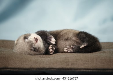 Pretty relaxing ferret baby laying on pillow