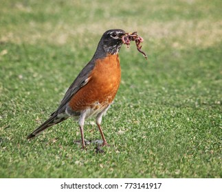 a pretty robin on grass with a bunch of worms in its mouth on a hot summer day