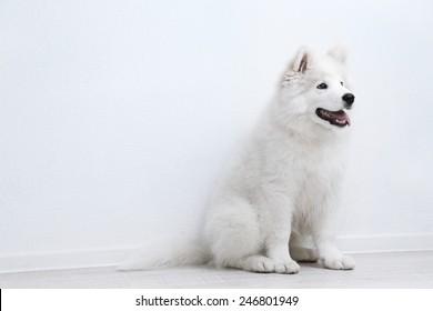Pretty Samoyed dog on white wall background