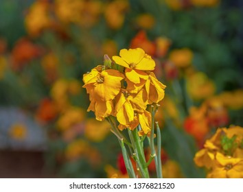 Pretty scene with yellow flowers erysimum wallflower in bloom.