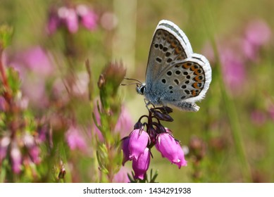 A pretty Silver-studded Blue Butterfly, Plebejus argus, perching on a heather flower.