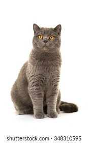 Pretty sitting british short hair grey cat isolated on a white background