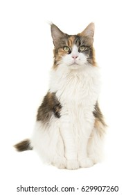 Pretty sitting female adult main coon cat seen from the front looking at the camera on a white background