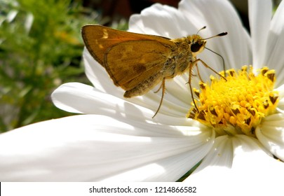 Pretty Skipper Butterfly on Cosmos Flower: A banded or grass skipper, this insect is also called a moth. Popular in North America, it may be a Leonard's or Sachem Skipper.
