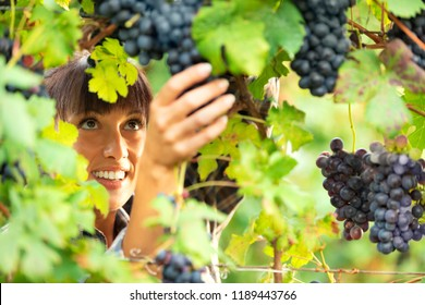 Pretty smiling woman checking bunches of ripe black grapes on the vine in a winery vineyard in a close up view of her hand with her face visible through the leaves