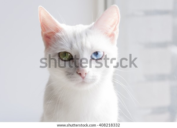 Pretty snow-white cat with different colored eyes
